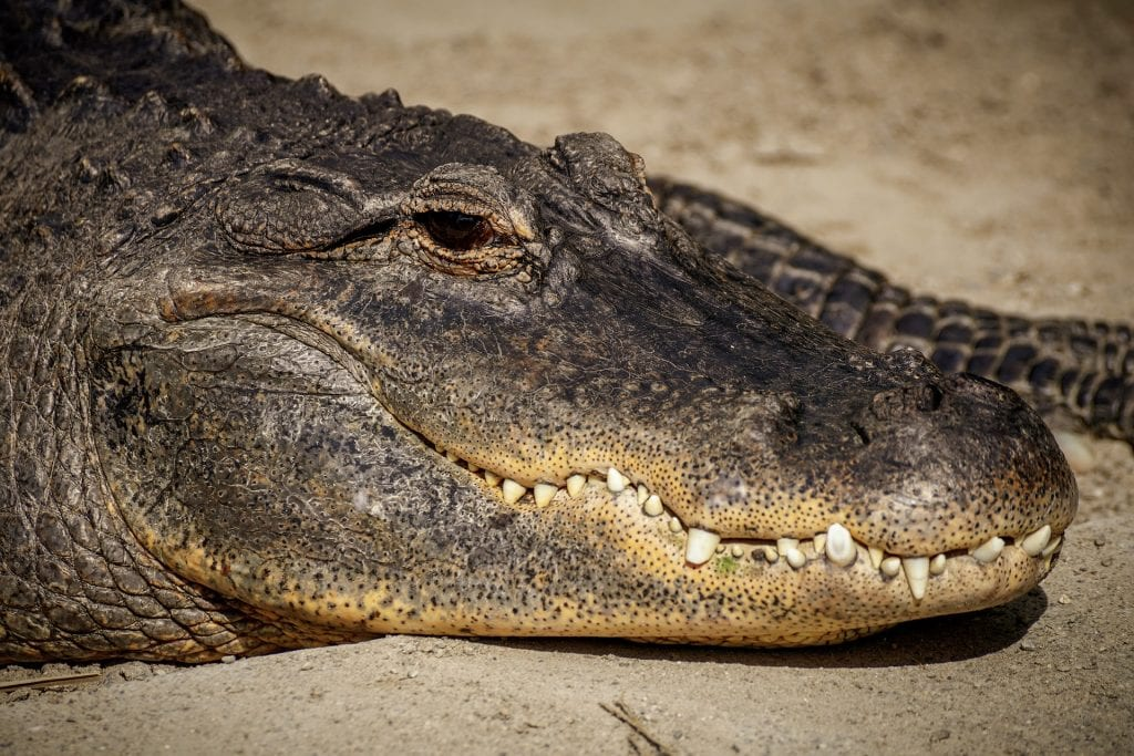 Alligator Teeth - 10 best lucky charms for gamblers - Translation Royale